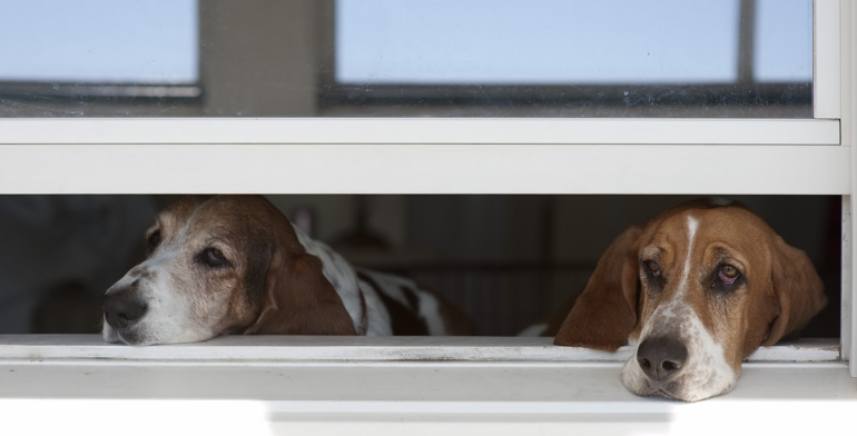 Beagles look out open window with no window treatment in Fort Lauderdale.